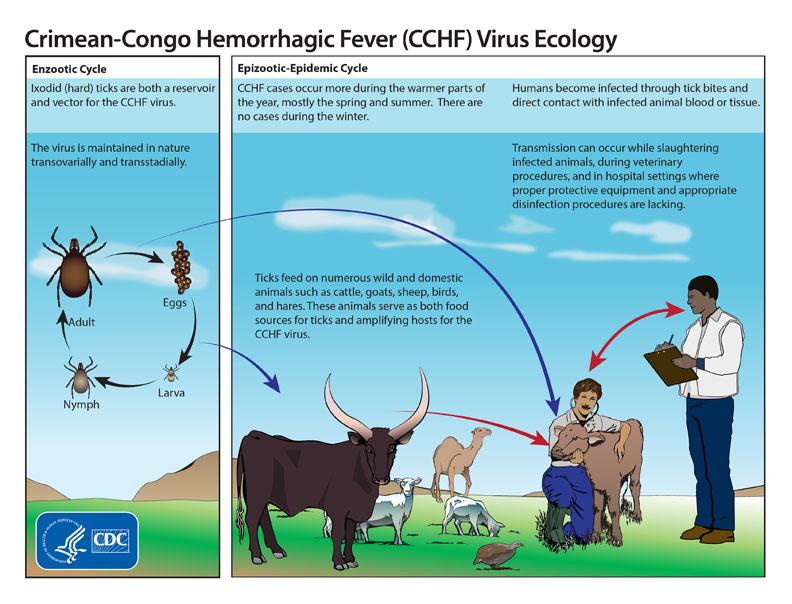 Crimean-Congo hemorrhagic fever (CCHF) virus ecology