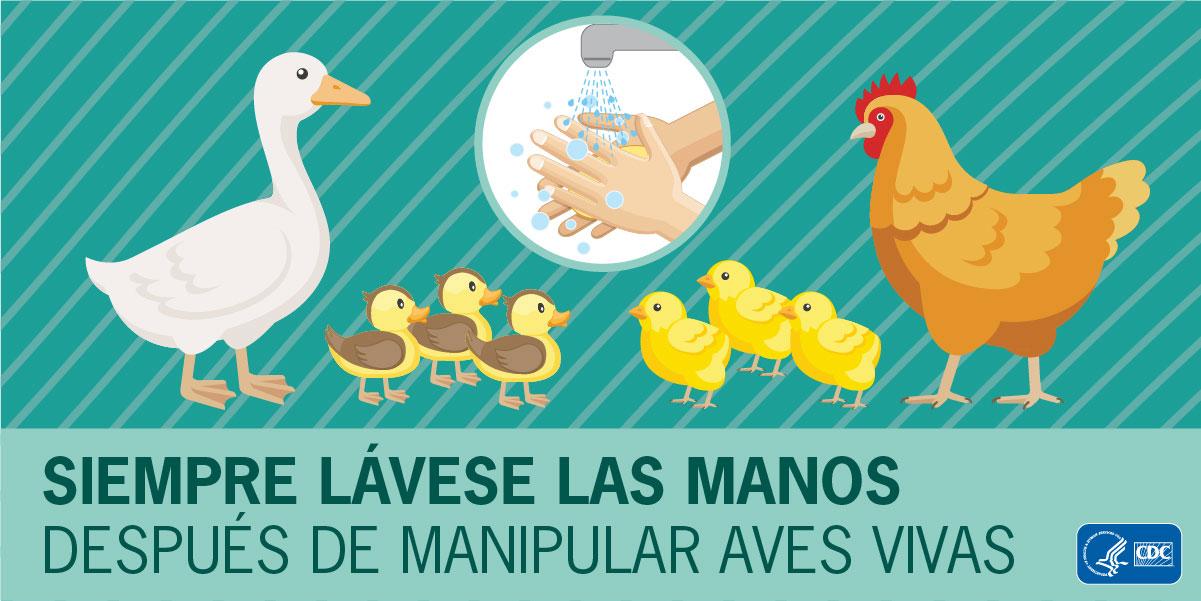 Siempre lávese las manos después de manipular aves vivas