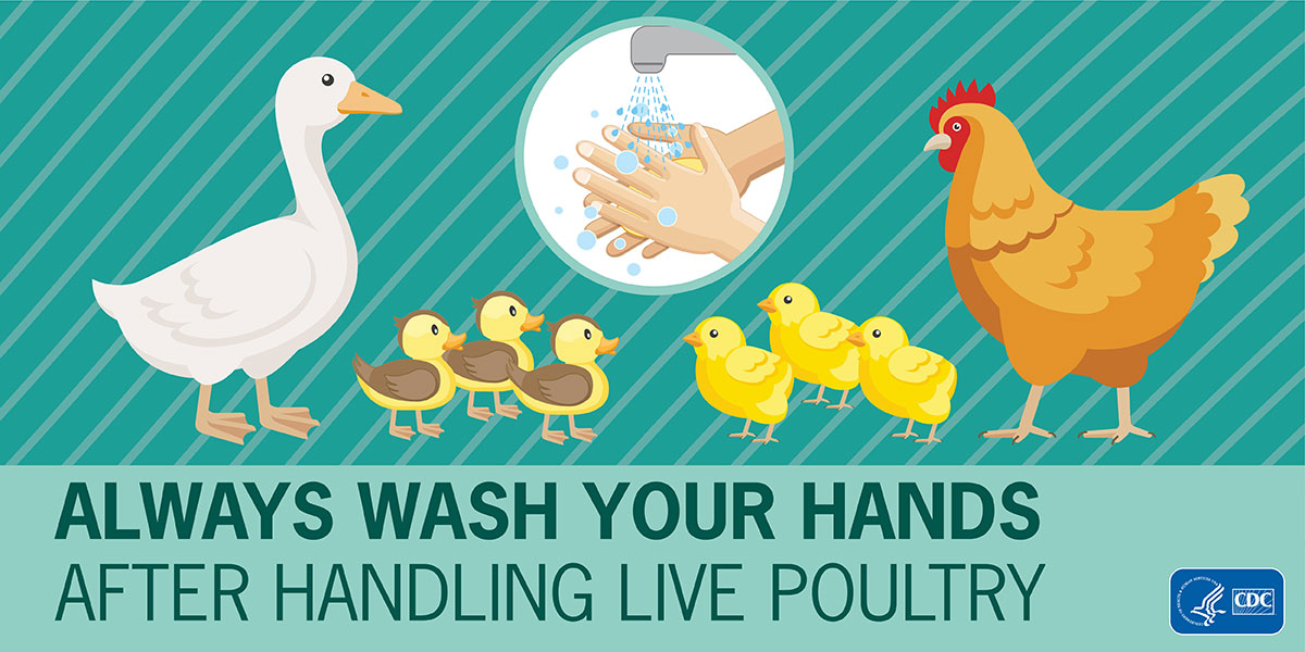 Always wash your hands after handling live poultry