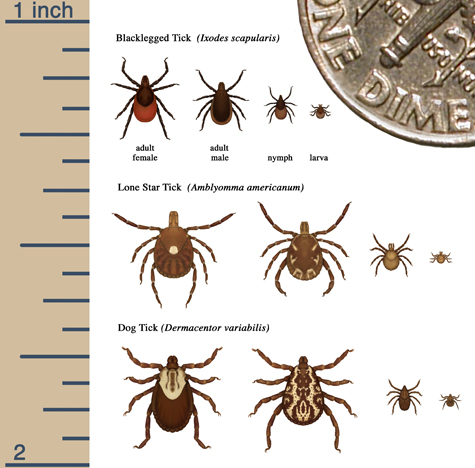 Relative sizes of several ticks at different life stages