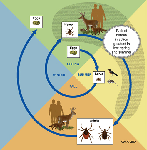 This diagram shows the life cycle of blacklegged ticks that can transmit anaplasmosis, babesiosis, and Lyme disease